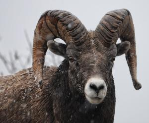 aries ram in snow